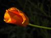 Eschscholzia Californica (California poppy) (Unni Henning (also Instagram @unnikarin59)) Tags: autumn england orange macro closeup garden blossom makro allotment warwickshire californiapoppy eschscholziacalifornica fantasticflower