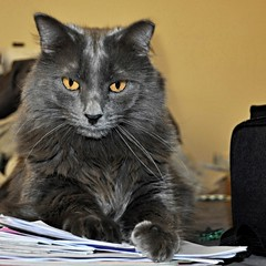 Newb (shannonsl) Tags: gray graycats fluffy silky longhaired
