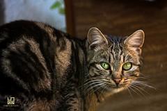TIGRATO (Lace1952) Tags: cat italia occhi sguardo piemonte gatto vco vibrisse ossola tigrato nikkor18300vr nikond7100