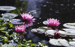 _MG_0864_1 (Elena Legkaya) Tags: summer flowers water lily botanical garden apothecaries
