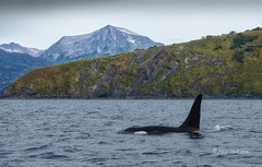 Sea King (Rick Derevan) Tags: alaska animals killerwhale kodiak orca nature orcinusorca kodiaktrip2016 places