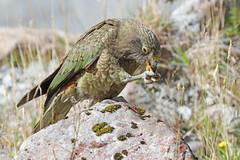 Kea (Alan Gutsell) Tags: parrot newzealandbirds alan wildlife kea mountain mountainparrot endemic wildlifephoto nature