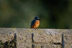_SLR8743_DxO.jpg (Pixelkeeper) Tags: bird wildlife eisvogel commonkingfisher alcedoatthis