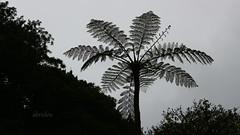 Ferntree Silhouette (abrideu) Tags: abrideu canoneos100d ferntree silhouette nature madeira outdoor tree ngc