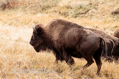 Bison regiment marches forward (transpixt) Tags: nanparegionalevent grandtetons montana nationalpark wyoming yellowstone yellowstonenationalpark usa us