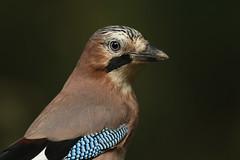 Jay (Garrulus glandarius). (Sandra Standbridge.) Tags: jay garrulusglandarius bird animal wildandfree wildlife nature outdoor woodland beautiful