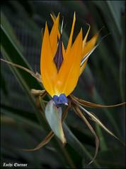 Paradise Bird Flower - MyGarden-IZE-006 (Zachi Evenor) Tags: zachievenor israel mygarden garden gardening         strelitziareginae strelitzia reginae   flower flowers ganedenbird paradisebird paradisebirdflower