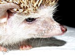 LokiNoseNamed2 (beth.c.photography) Tags: hedghog pygmy small nose snout spikes eye feet claws pet creature nature beautiful cute fluffy photography nikon coolpix nikoncoolpix nikonphotography closeup animalphotography petphotography pygmyhedgehog brighton ilovemypet mouth fur precious fragile quiet whiskers