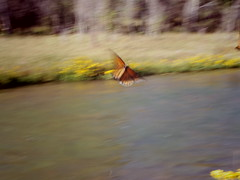 monarch in motion (EllenJo) Tags: pentaxqs1 october17 2016 ellenjo ellenjoroberts pentax movement motion butterfly insect verderiver