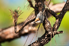 A Nut Hatches In A Pine... (ac4photos.) Tags: nuthatch brownheadednuthatch nature wildlife animal florida everglades glades naturephotography wildlifephotography animalphotography birdphotography nikon d300s tamron ac4photos ac