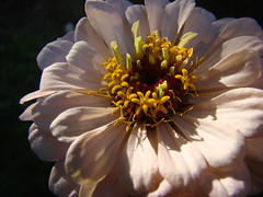 ZINNIA rose-Coeur. (01937100-Thanks for your 2 MILLIONS visits.) Tags: coeur zinnia rose france jardin