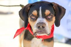 dudleywalker-5980 (angelsrescue2015) Tags: aau foster adopt atlanta dog rescue alpharetta ga