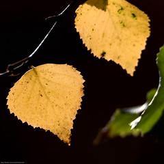 Leaf (Objects1000) Tags: tamron150600mm backlitleaf backlit contrast nikon leaf colorful nikond750 yellow square macromondays bellevue washington unitedstates us