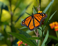 The last of the monarchs (KsCattails) Tags: butterfly fall insect kansas kscattails milkweed monarch nature overlandparkarboretum