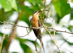 _DJA4907_01 (Dijalma Cruz) Tags: hummingbird bird brasil bahia naturephotography natureza cores colibri passaro