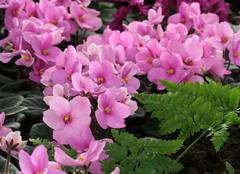 01-IMG_4655 (hemingwayfoto) Tags: berggartenhannover blhen blte blume flora floristik natur topfpflanze usambara usambaraveilchensorte548 veilchen zierpflanze zuchtform