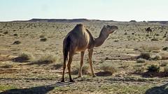 Dromadaires - El Bayadh  -  (habib kaki) Tags: algrie algeria elbayadh       chameau dromadaire brezina brizina