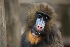 Mandril (K.Verhulst) Tags: mandril apen monkeys monkey ouwehandsdierenpark ouwehands rhenen naturethroughthelens ngc npc coth5