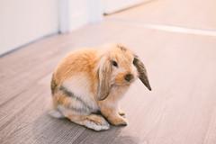 mon petit lapin (italida.com) Tags: lapin lapinou coniglietto coniglio coniglionano coniglioariete bunny rag minilop ariete fulvo sweet cute dolce tenero tender home house casa apartment appartamento
