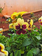 20161025_185621_HDR (Rodrigo Ribeiro) Tags: garden gardening jardim jardinagem flor flower nature natureza