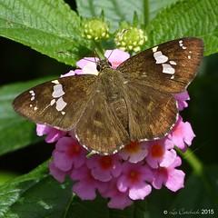 Tricolour pied flat (LPJC) Tags: munnar kerala india 2015 lpjc tricolourpiedflat skipper butterfly coladeniaindrani