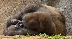 Day 4: Nap Time (ToddLahman) Tags: kokamo nap baby babygorilla sandiegozoosafaripark safaripark canon7dmkii canon canon100400 escondido gorilla westernlowlandgorilla