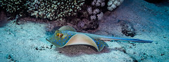 Blue Spotted (Chris Hartland57) Tags: blue spotted sting ray diving scuba under water olympus pen epl5