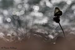 """"""" Bulles de Gaz """" (Thomas Delahaye) Tags: thomas delahaye bulles gaz aporia crataegi butterfly papillon ngc bokeh flare canon montier"""