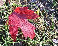 Morning Dew on Red Leaf (kendoman26) Tags: red redleaf dew topazdetail topazsoftware nikon nikond3300 tokinaatx1228prodx tokina tokina1228 autumncolors fallcolor