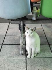 (YONA_K) Tags:  cat white   tai taiwan