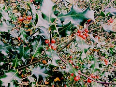 Holly in December (evb_photography) Tags: pic picture photo photographer photography photograph effect colors color colour colours amazing walk unitedkingdom britain uk hertfordshire berkhamsted nature gorgeous leaves leaf plant holly