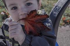 Maple Leaf (Paul B0udreau) Tags: canada sooc ontario paulboudreauphotography niagara d5100 nikon nikond5100 baby colton family bokeh nikkor1855mm niagarafalls autumn leaf eyes