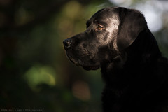 Just a touch. (Marcus Legg) Tags: marcuslegg max blacklabradorretriever black labrador lab retriever dog pet petportrait sunlight shiny fur bokeh outdoors woods forest canon eos 1dx ef70200mmf28lisii dark