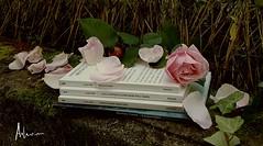 16 novembre 2016 ... poesie per il mio compleanno (adrianaaprati) Tags: poesia poet poetry poetic mariangelagualtieri letteratura rosaantica rosa versi libro book compleanno birthday composizione composit