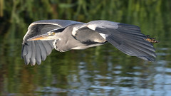 Grey Heron (image 1 of 2) (Full Moon Images) Tags: houghton mill nt national trust wildlife nature river great ouse flight flying grey heron