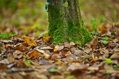 in the forest (Riboli Alessandro) Tags: bosco verde alberi autunno foglie nikon d700 nikkor sottobosco albero three