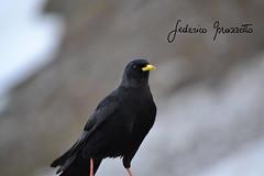 guerra all'ultimo scatto (federicomazzetto) Tags: bird natura uccelli 3000m stelvio passo dello