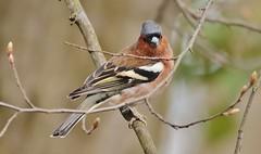 Bird (Hugo von Schreck) Tags: buchfink fringillacoelebs hugovonschreck bird vogel tier outdoor canoneos5dmarkiii onlythebestofnature