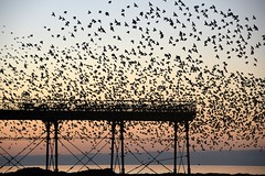 Sky filled with starlings (karen leah) Tags: starlings aberystwyth