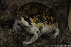 Bushveld Rain Frog -- Breviceps cf. adspersus (garykylenicolau) Tags: durban north kwazulu natal bushveld rain frog breviceps cf adspersus cutest grumpy wildlife canon macro 100mm twin flash nature amphibians gary kyle nicolau