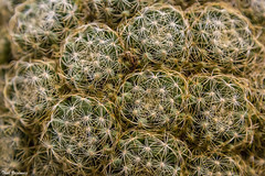 Cactus tangle (Thad Zajdowicz) Tags: cactus plant flora botany desert thorns green color abstract nature zajdowicz arcadia california canon eos dslr 5d3 5dmarkiii digital lightroom outside outdoor availablelight texture organicpattern pattern tangle ef24105mmf4lisusm