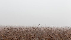 foggy vineyards (The eclectic Oneironaut) Tags: 2016 6d canon castillayleon cigales eos valladolid wine countryside campo pueblo agriculture fog espaa spain vineyard