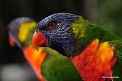Rainbow Lorikeet. (mcgrath.dominic) Tags: lorikeets birds queensland australia