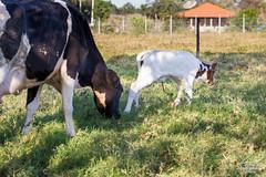 IMG_F5335 (Max Hendel) Tags: photography calf bezerro bymaxhendel arealvaspbrazil maxhendelphotography duartesmallfarm ruralzoneanimal berrodeumdia onedaycalf