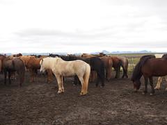 Horses near Gullfoss!