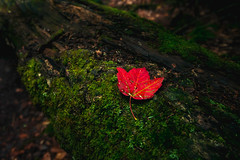 Autumn In August (lestaylorphoto) Tags: travel autumn red fall nature colors leaves america leaf moss log nikon unitedstates newengland newhampshire whitemountains foliage nationalforest leslie taylor    d610 1635mm       lestaylorphoto