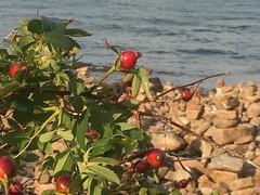 Rose hip (nitisj) Tags: sea stone sweden rosehip hovshallar böue