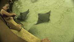 Sring rays (Moises de Los Oceanos) Tags: ray stingray sting omahazoo henrydoorlyzoo