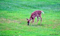 DSC_0389 (RachidH) Tags: nature nj deer sparta gazelle whitetail whitetaileddeer cerf odocoileusvirginianus biche cerfdevirginie virginiadeer rachidh