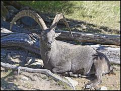 (wilphid) Tags: montagne animaux chamonix parc montblanc sauvage hautesavoie faune leshouches parcdemerlet